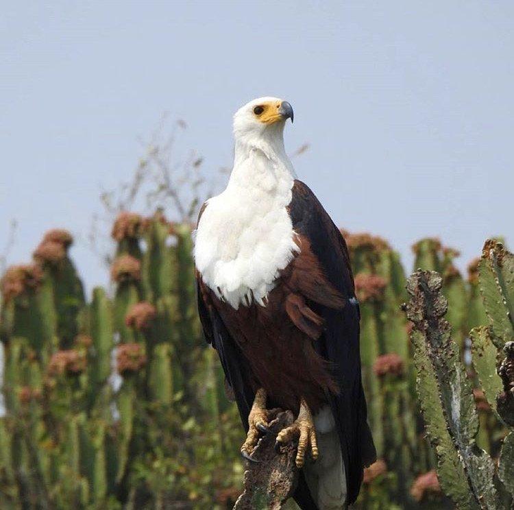 African Fish Eagle Kazinga Channel. Uganda Safari