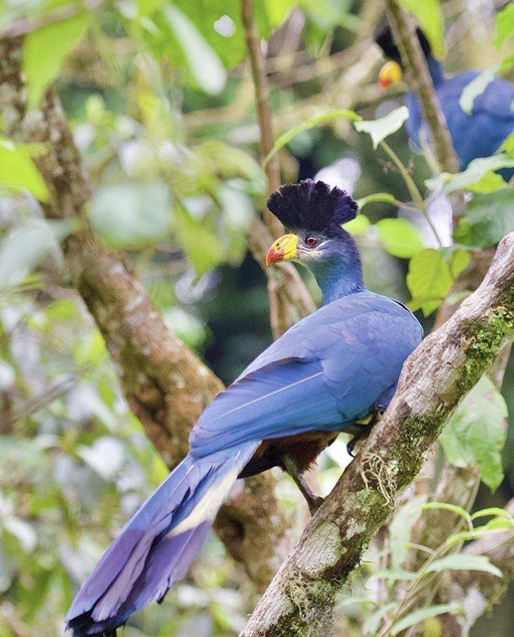 Great Blue Turaco Nyungwe National Park Rwanda