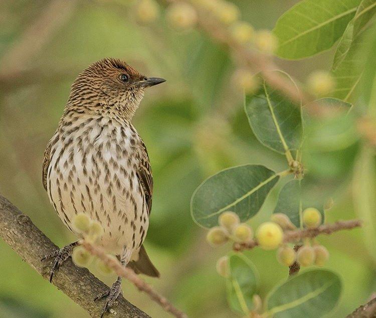 Violet Backed Starling, Akagera National Park