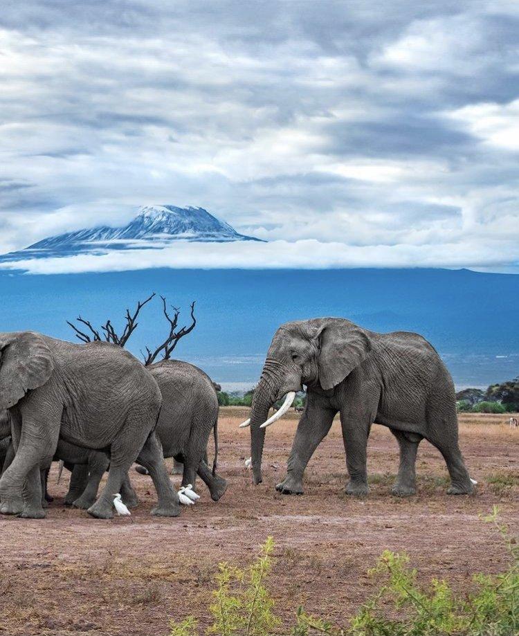 African Elephants in Amboseli National Park. 6 Days Kenya Safari