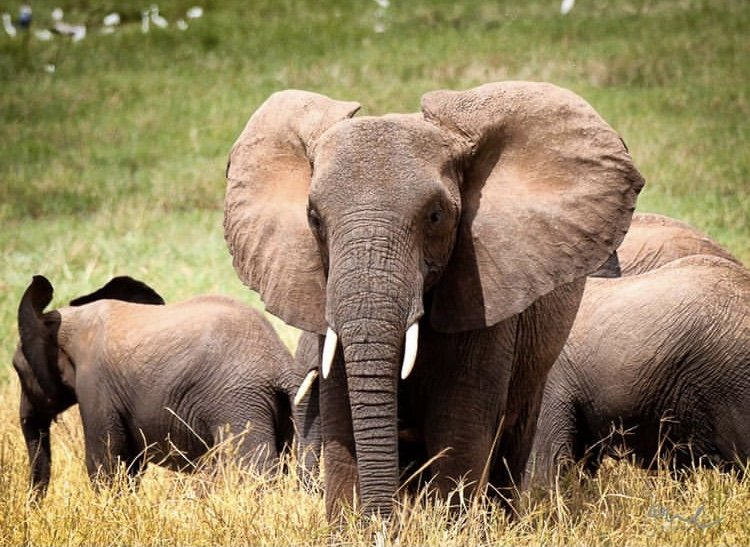 African Elephants in Tarangire National Park