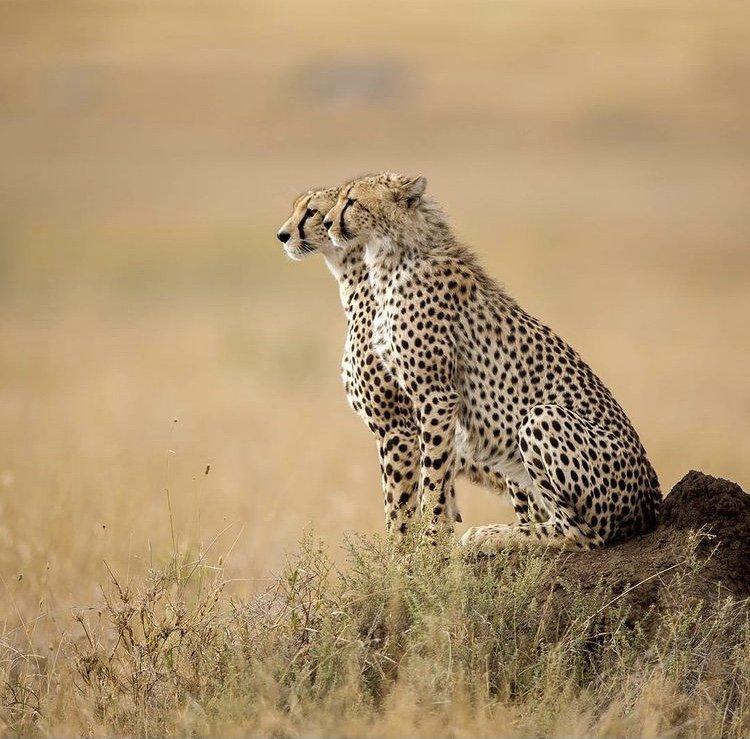 Cheetahs in Serengeti National Park. Tanzania Tour Destinations
