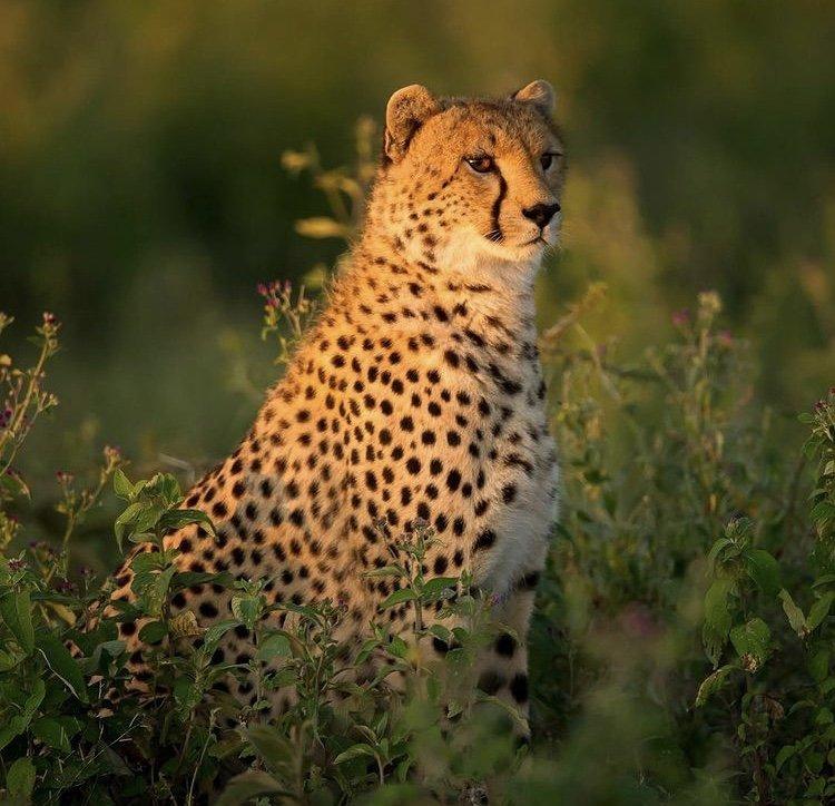 Cheetah in Serengeti Tanzania. Safari Holiday destinations