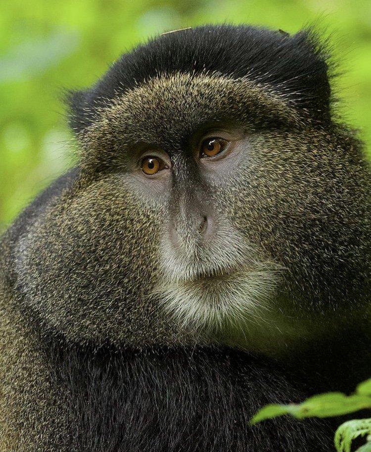 Golden Monkey in Volcanoes National Park. African Safari Holidays