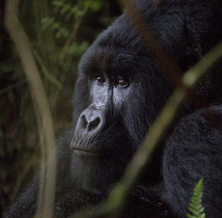 Silverback Gorilla Mgahinga National Park