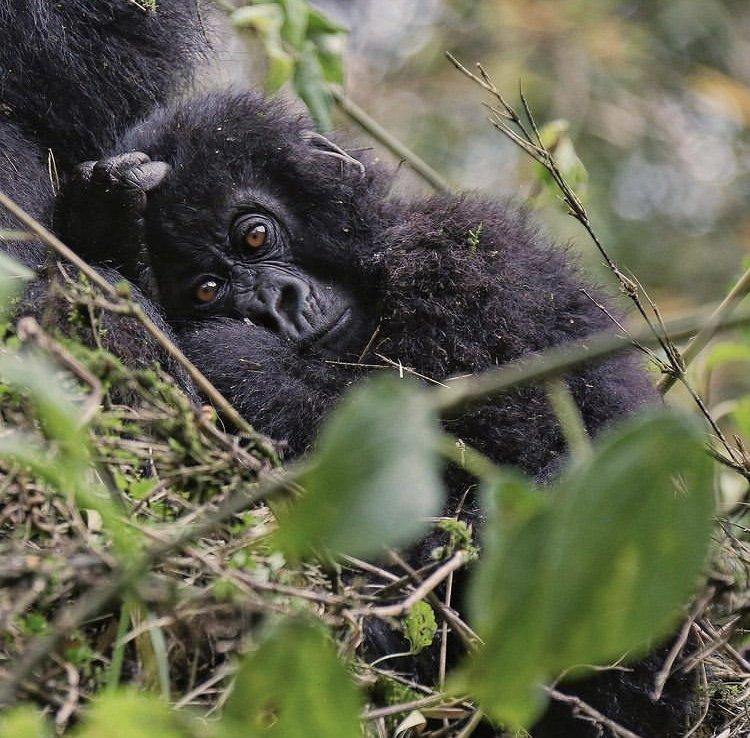 Rwanda Mountain gorilla. Safari Experiences