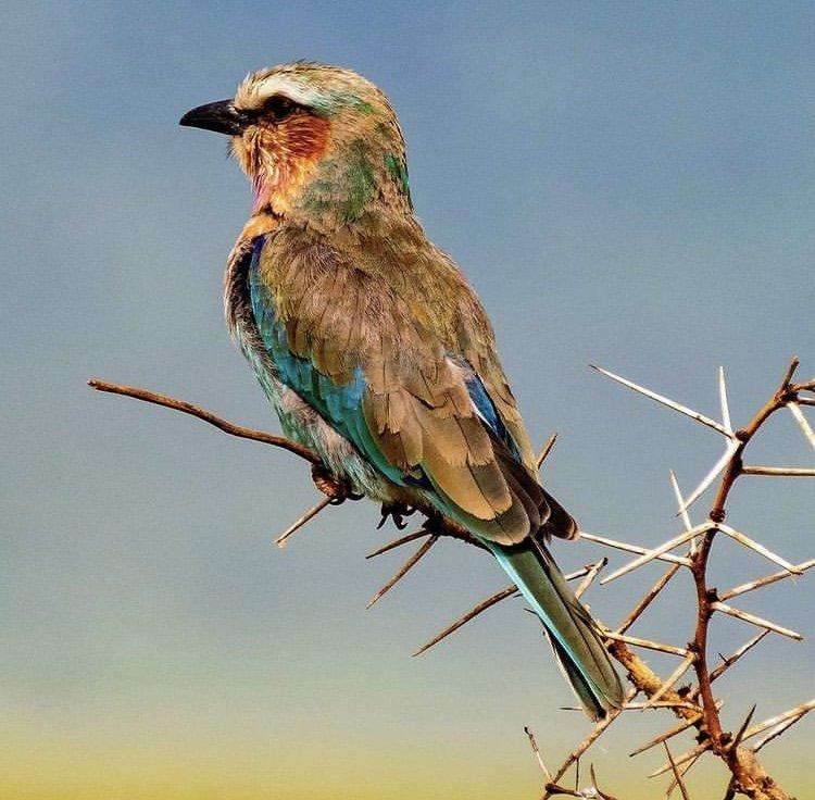 Lilac Breasted Roller. Birding Safari