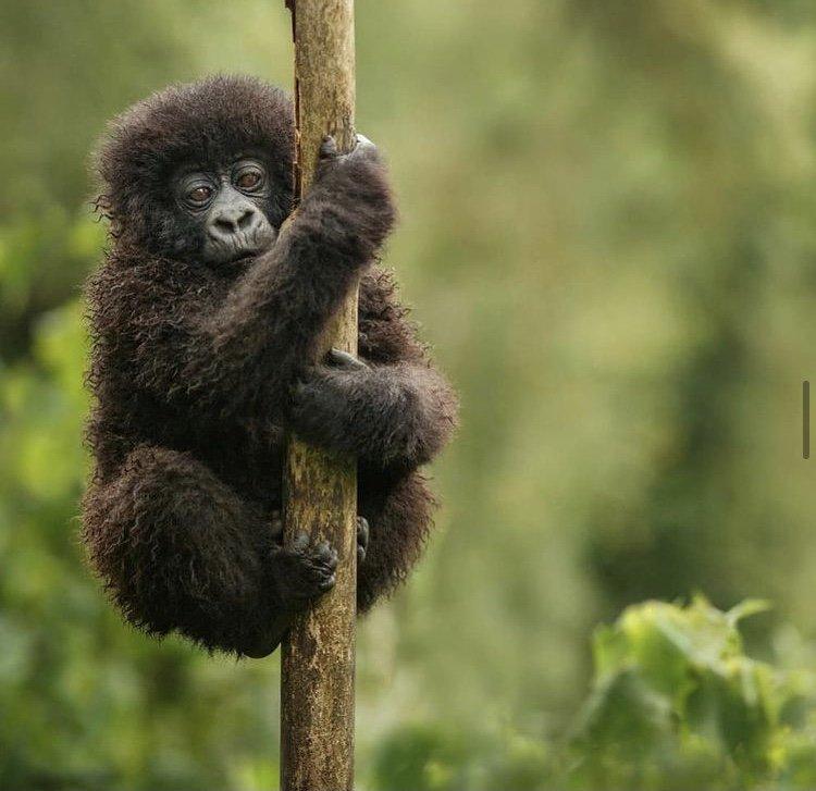 Mountain gorilla Virunga National Park. East African Tour