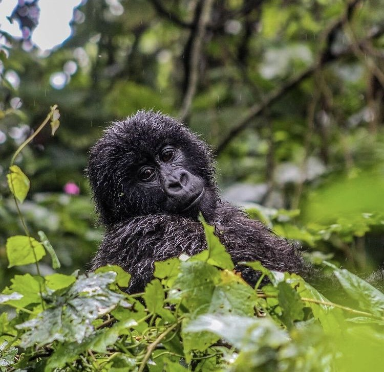 Mountain Gorilla in Virunga National Park. East African safaris