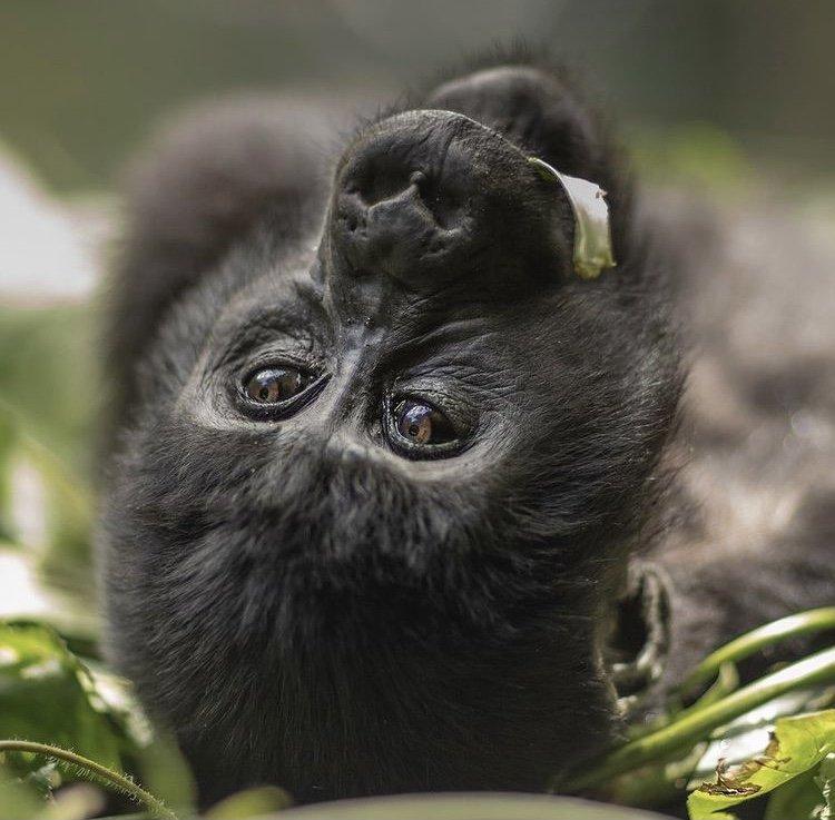 Mountain Gorilla in Mgahinga Gorilla Park. East African Safaris