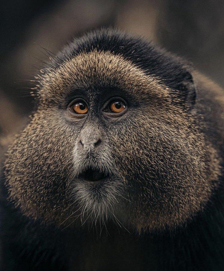 Golden Monkey Rwanda. Safari Destinations