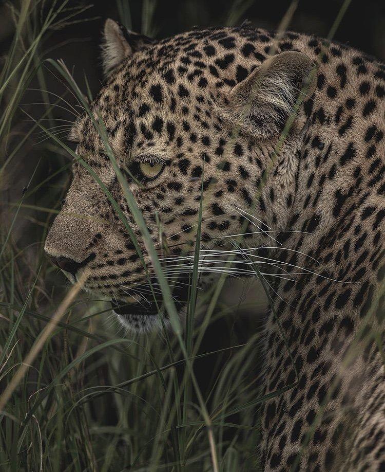 Leopard in Masai Mara National Reserve