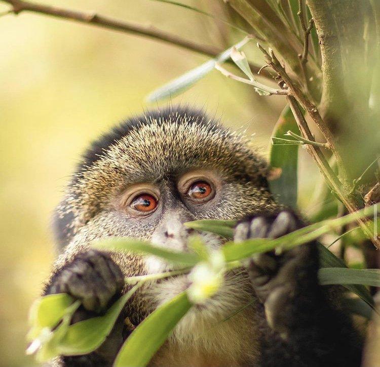Golden Monkey in Virunga National Park. Wildlife Tour