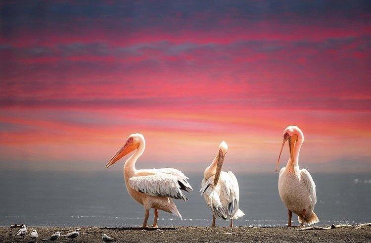 White Pelicans. Birding Safari