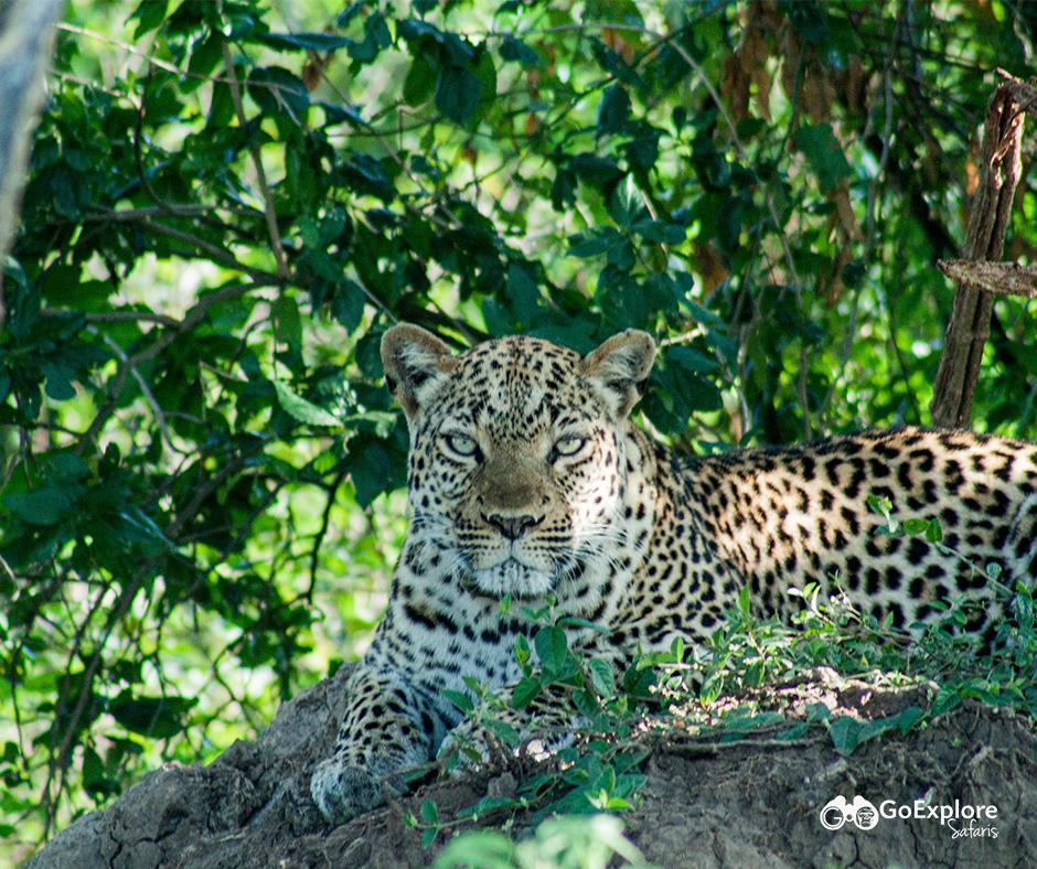 Leopard in Queen Elizabeth National Park Uganda. Wildlife Tours