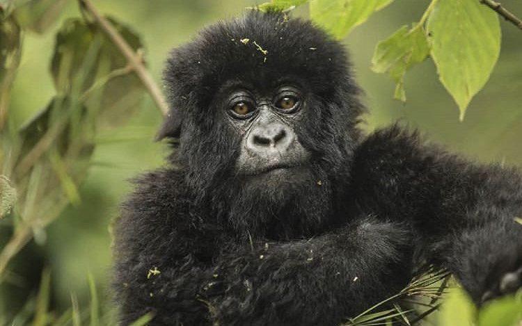 Rwanda Mountain gorilla. Gorilla Tours