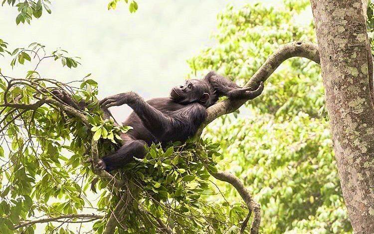 Chimpanzee in Nyungwe Forest. Safari Hideaways