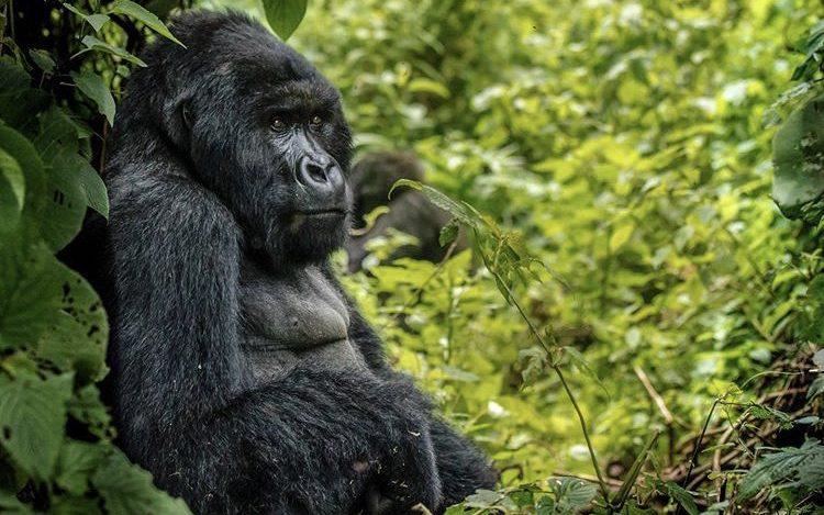 Mountain Gorilla in Virunga NP DRC