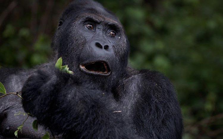 Eastern Lowland Gorilla in Kahuzi Beiga National Park