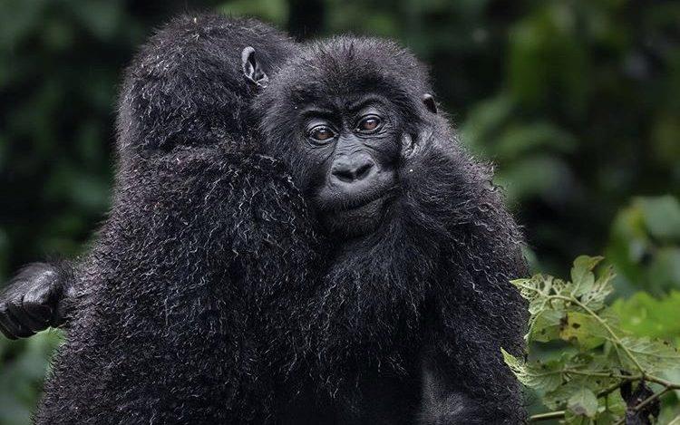 Lowland Gorillas in Kahuzi Beiga NP. DRC Safari Hideaways
