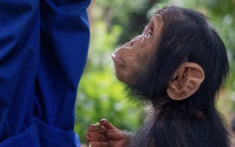 Chimpanzee at Lwiro Sanctuary