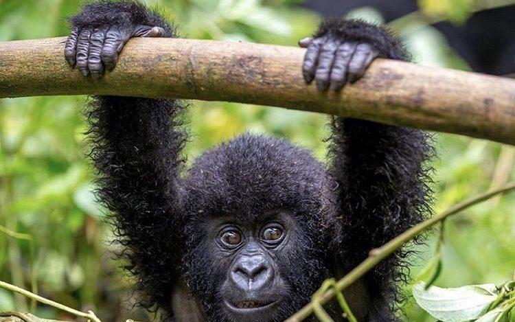 Infant Gorilla in Virunga National Park. Tour destinations