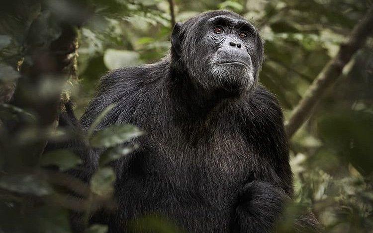 Chimpanzee in Nyungwe National Park. East African safaris. 6 Days Rwanda Tour