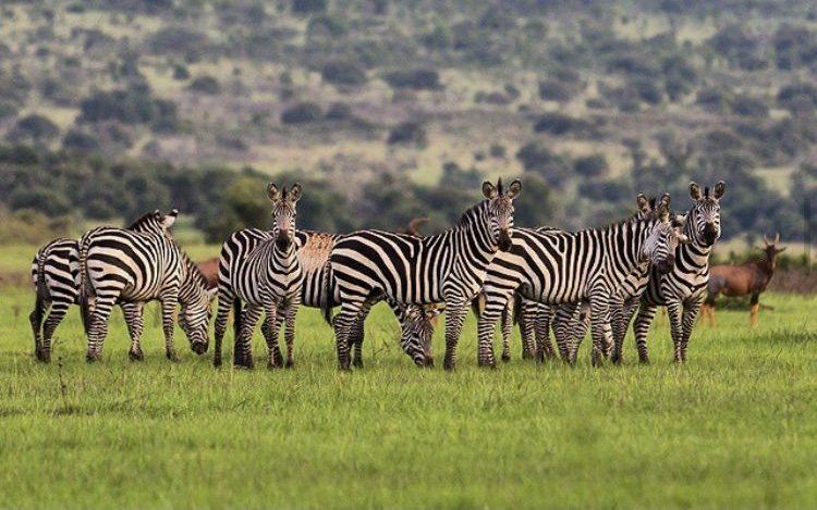 Zebras in Akagera National Park. Beyond Gorilla Safaris, 3 Days Akagera Tour