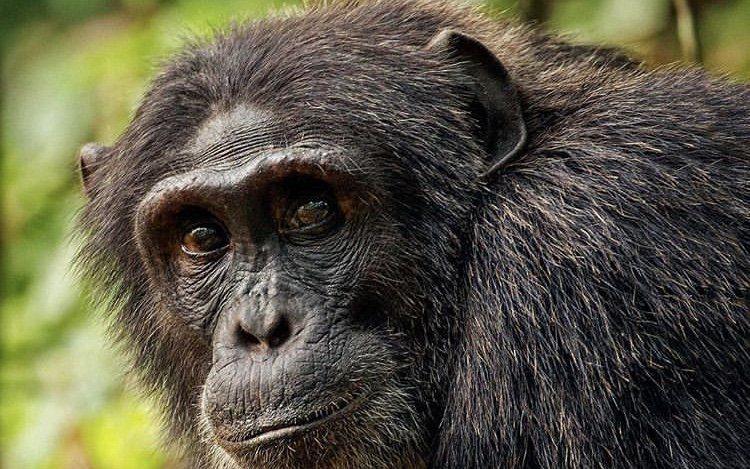 Chimpanzee in Kibale National Park Uganda. Tour destinations