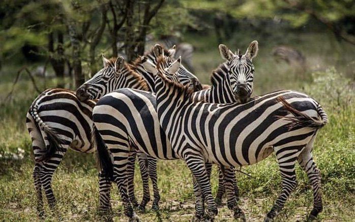 Zebras in Tarangire NP Tanzania. Camping safaris