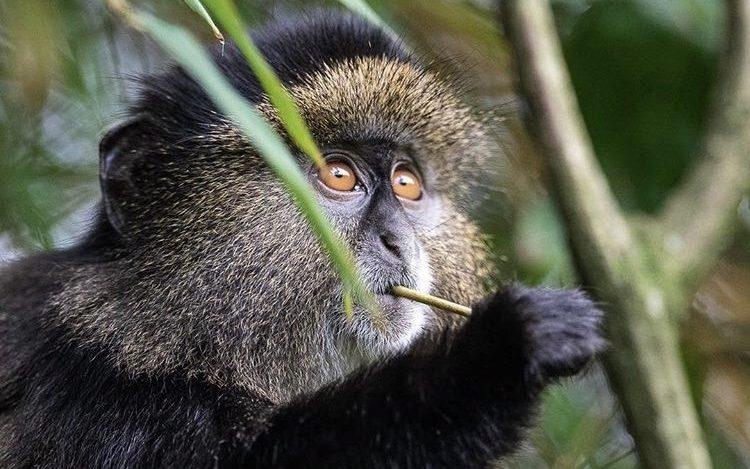 Golden Monkey Volcanoes National Park Rwanda, 3 Days Rwanda Gorillas