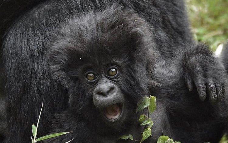 Mountain Gorillas in Volcanoes NP Rwanda. Gorilla Tracking