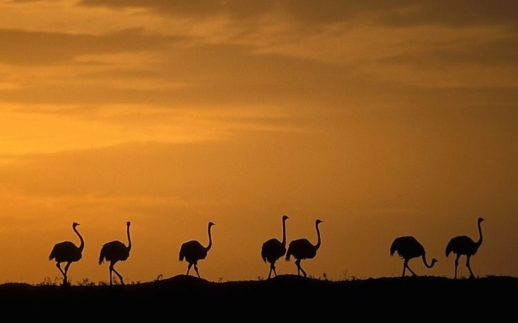 Ostriches Maasai Mara National Reserve. Safari destinations