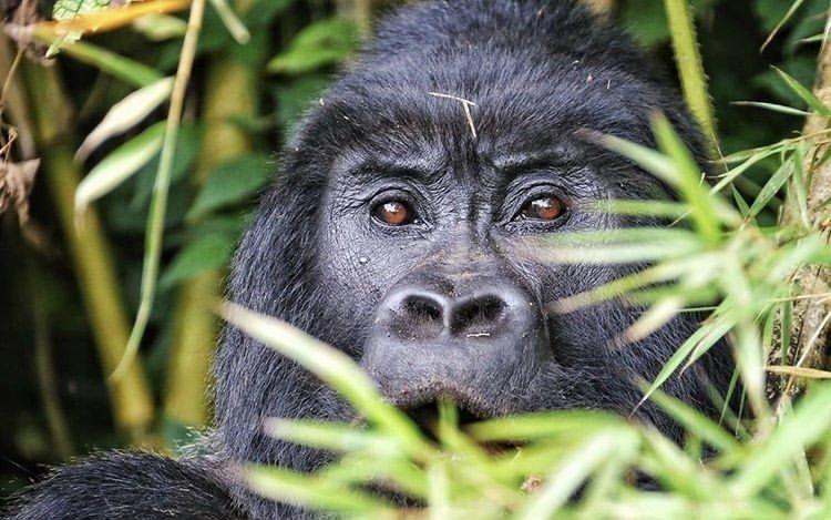 Primates of East Africa: Rwanda Safari Journeys