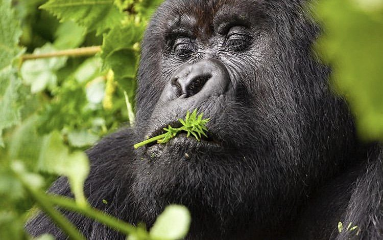 Moutain Gorilla. Uganda Primates - COVID-19 Travel Guidelines