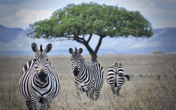 Zebras in Serengeti National Park Tanzania