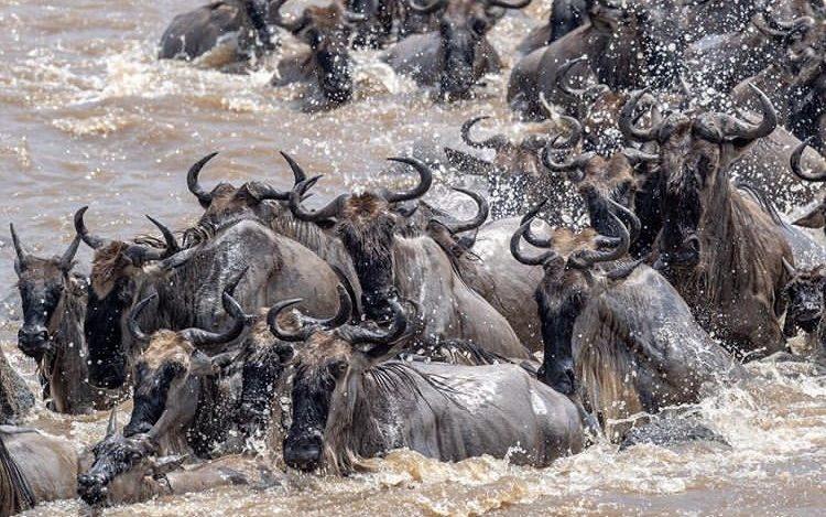 Wildebeest Migration. Tanzania Safari Experiences
