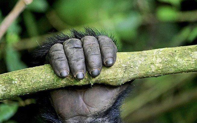Mountain Gorilla Arm. Uganda Wildlife Safari