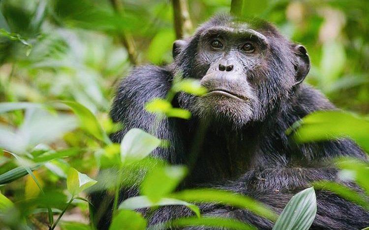 Chimpanzee in Kibale National Park. Uganda Wildlife Safari