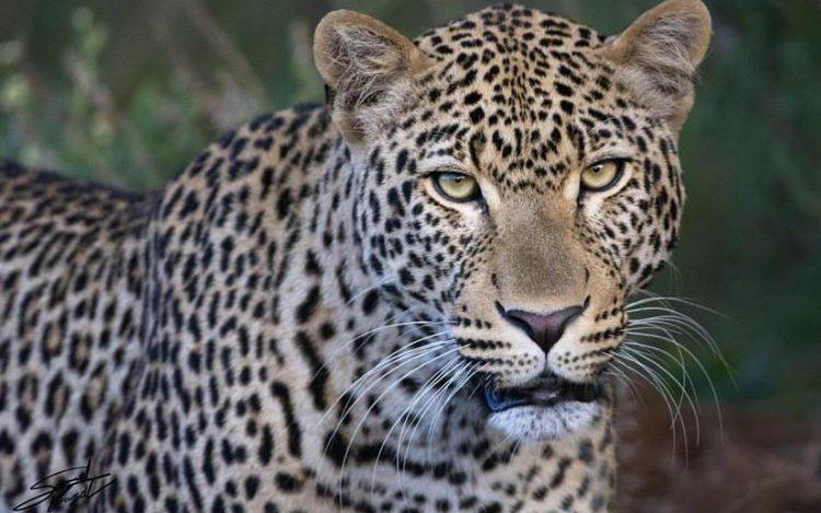 Leopard in Nairobi National Park. Wildlife Holiday