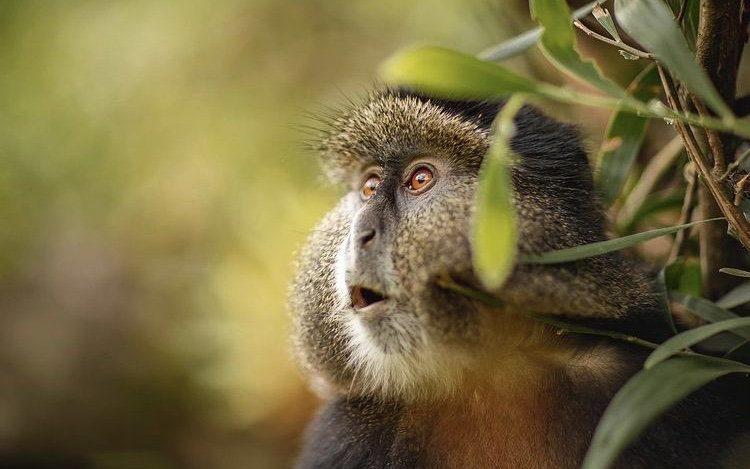 Golden Monkey in Virunga National Park. Wildlife Holiday